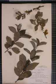 Salix caprea x myrsinifolia = S. x latifolia herbarium specimen from Shirley, VC57 Derbyshire in 1894 by Rev William Richardson Linton.