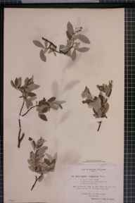 Salix caprea x lapponum = S. x canescens herbarium specimen from Lochaide Burn, VC89 East Perthshire in 1894 by Rev. Edward Francis Linton.