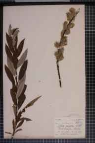 Salix viminalis x cinerea = S. x holosericea herbarium specimen from Hungarton,Quenby, VC55 Leicestershire in 1906 by Mr Arthur Reginald Horwood.