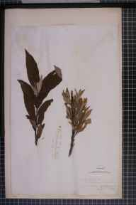 Salix viminalis x cinerea = S. x holosericea herbarium specimen from Richmond, VC65 North-west Yorkshire in 1841 by Mr James Ward.