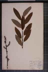 Salix viminalis x cinerea = S. x holosericea herbarium specimen from Putney, VC17 Surrey in 1878 by Mr Henry Groves.
