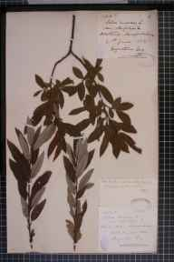 Salix viminalis x cinerea = S. x holosericea herbarium specimen from Dorstone, VC36 Herefordshire in 1882 by Rev. Augustin Ley.