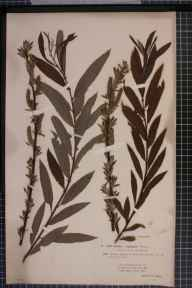 Salix viminalis x aurita = S. x fruticosa herbarium specimen from Bournemouth, VC11 South Hampshire in 1893 by Rev. Edward Francis Linton.