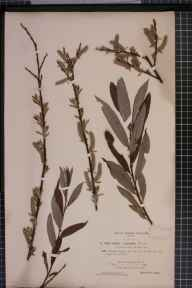 Salix viminalis x aurita = S. x fruticosa herbarium specimen from Bournemouth, VC9 Dorset in 1894 by Rev. Edward Francis Linton.