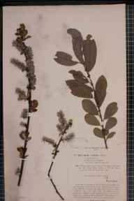 Salix cinerea x aurita = S. x multinervis herbarium specimen from Yeldersley, VC57 Derbyshire in 1895 by Rev William Richardson Linton.