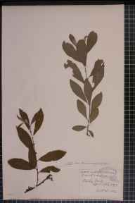 Salix cinerea x aurita = S. x multinervis herbarium specimen from Shirley, VC57 Derbyshire in 1897 by Rev William Richardson Linton.