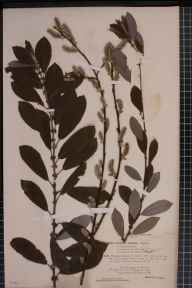 Salix cinerea x aurita = S. x multinervis herbarium specimen from Holme Fen, VC31 Huntingdonshire in 1894 by Rev. Edward Francis Linton.