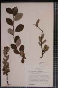 Salix cinerea x phylicifolia = S. x laurina herbarium specimen from Hubberholme, VC64 Mid-west Yorkshire in 1914 by Mr Arnold Eastwood Bradley.
