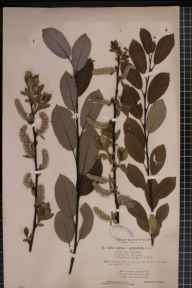 Salix cinerea x phylicifolia = S. x laurina herbarium specimen from Clova, VC90 Angus in 1893 by Rev. Edward Francis Linton.