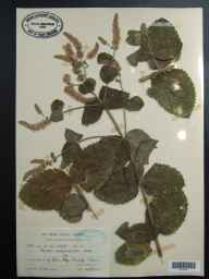 Mentha spicata x suaveolens = M. x villosa var. alopecuroides herbarium specimen from Cardiff, VC41 Glamorganshire in 1947 by Mr Arthur Edward Wade.