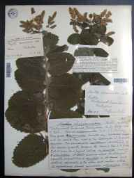 Mentha spicata x suaveolens = M. x villosa var. alopecuroides herbarium specimen from Wirksworth Quarries, VC57 Derbyshire in 1908 by Mr William Bell.