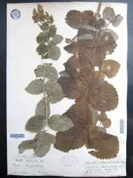 Mentha spicata x suaveolens = M. x villosa var. alopecuroides herbarium specimen from Kingsley Green, VC13 West Sussex in 1912 by Alfred Webster.
