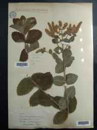 Mentha spicata x suaveolens = M. x villosa var. alopecuroides herbarium specimen from John O'groats, VC109 Caithness in 1919 by Mr George Claridge Druce.