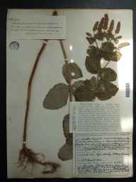 Mentha spicata x suaveolens = M. x villosa var. alopecuroides herbarium specimen from Papa Westray, VC111 Orkney in 1932 by Dr Henry Halcro Johnston.