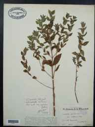 Mentha arvensis x spicata = M. x gracilis herbarium specimen from Shalford, VC17 Surrey in 1933 by Mr Edward Charles Wallace.