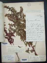 Mentha arvensis x spicata = M. x gracilis herbarium specimen from Shotover, VC23 Oxfordshire in 1885 by Mr George Claridge Druce.