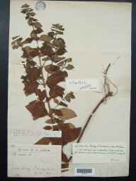 Mentha arvensis x spicata = M. x gracilis herbarium specimen from Shirley, VC57 Derbyshire in 1889 by Rev William Richardson Linton.