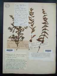 Mentha arvensis x spicata = M. x gracilis herbarium specimen from Haseley, VC38 Warwickshire in 1890 by Mr Henry Bromwich.