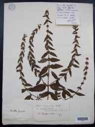 Mentha x cardiaca herbarium specimen from Bradford, VC7 North Wiltshire in 1772 by William Sole.