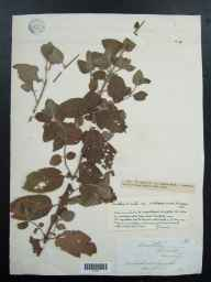 Mentha aquatica x spicata = M. x piperita herbarium specimen from Waterford Marsh, VC20 Hertfordshire in 1846 by John Ansell.