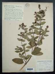 Mentha aquatica x spicata = M. x piperita herbarium specimen from Didcot, VC22 Berkshire in 1896 by Mr George Claridge Druce.