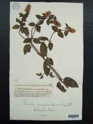 Mentha aquatica x spicata = M. x piperita herbarium specimen from Sidmouth, VC3 South Devon in 1904.