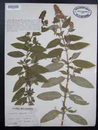 Mentha aquatica x spicata = M. x piperita herbarium specimen from Danehill, VC14 East Sussex in 1926 by Mr Arthur Langford Still.