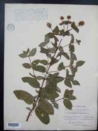 Mentha aquatica x spicata = M. x piperita herbarium specimen from Walton in Gordano, VC6 North Somerset in 1925 by Mr James Walter White.