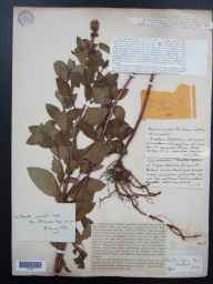 Mentha aquatica x spicata = M. x piperita herbarium specimen from Didcot, VC22 Berkshire in 1888 by Mr George Claridge Druce.