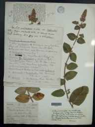 Mentha aquatica x spicata = M. x piperita herbarium specimen from Saint Columb Minor, VC1 West Cornwall in 1908 by Mr Spencer Henry Bickham.
