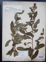 Mentha aquatica x spicata = M. x piperita herbarium specimen from North Leigh, VC23 Oxfordshire in 1884 by Mr George Claridge Druce.