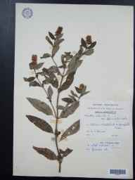 Mentha aquatica x spicata = M. x piperita herbarium specimen from Woodstock, VC23 Oxfordshire by Mr George Claridge Druce.