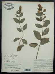 Mentha aquatica x spicata = M. x piperita herbarium specimen from Alfrick, VC37 Worcestershire in 1934 by Mr Job Edward Lousley.