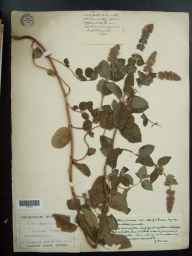 Mentha aquatica x spicata = M. x piperita herbarium specimen from Crantock, VC1 West Cornwall in 1908 by Mr George Claridge Druce.
