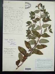 Mentha aquatica x spicata = M. x piperita herbarium specimen from Kidderminster, VC37 Worcestershire in 1936 by Dr Richard Charles L'Estrange Burges.