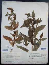 Mentha aquatica x spicata = M. x piperita herbarium specimen from Callander, VC87 West Perthshire by Miss  Young.