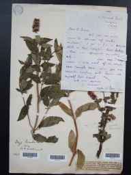 Mentha aquatica x spicata = M. x piperita herbarium specimen from Penzance, VC1 West Cornwall in 1923 by Edgar A Rees.
