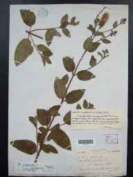Mentha aquatica x spicata = M. x piperita herbarium specimen from Priddy, VC6 North Somerset in 1909 by Mr Spencer Henry Bickham.