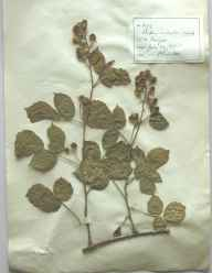 Rubus infestus herbarium specimen from Bangor, VC49 Caernarvonshire in 1895 by Rev William Hunt Painter.