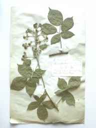 Rubus babingtonii herbarium specimen from Wormsley Wood, VC23 Oxfordshire in 1894 by Rev William Moyle Rogers.