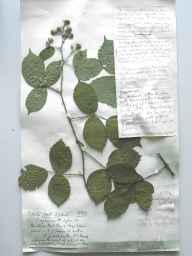 Rubus podophyllus herbarium specimen from Oaks Hall, VC40 Shropshire in 1895 by Richard de Gylpyn Benson.