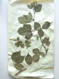 Rubus fuscus herbarium specimen from Richmond, VC65 North-west Yorkshire in 1890 by Rev William Moyle Rogers.