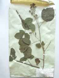 Rubus longithyrsiger herbarium specimen from Landrake, VC2 East Cornwall in 1872 by Mr Thomas Richard Archer Briggs.