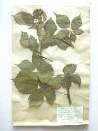 Rubus koehleri subsp. cognatus herbarium specimen from Elstead, VC17 Surrey in 1891 by Rev. Edward Shearburn Marshall.