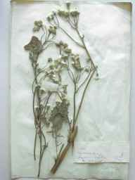 Crepis vesicaria subsp. taraxacifolia herbarium specimen from Colwyn Bay, VC50 Denbighshire in 1900 by Dr W E Russell.