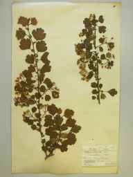Crataegus laevigata herbarium specimen from Wray Common, Reigate, VC17 Surrey in 1898 by Mr Charles Edgar Salmon.