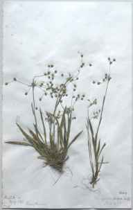 Luzula pilosa herbarium specimen from Huglith Hill, VC40 Shropshire in 1893 by Richard de Gylpyn Benson.