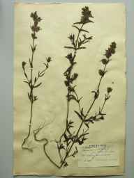 Rhinanthus  herbarium specimen from Mullingar, Bog of Lynn, VCH23 Westmeath in 1895 by Rev. Edward Shearburn Marshall.