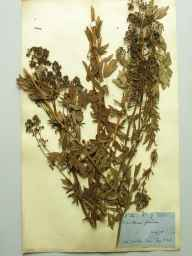Thalictrum flavum herbarium specimen from Wicken Fen, VC29 Cambridgeshire in 1901 by Edwin Bernard Benson.