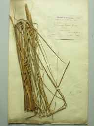 Ammophila baltica herbarium specimen from Caister, VC27 East Norfolk in 1886 by Rev. Edward Francis Linton.